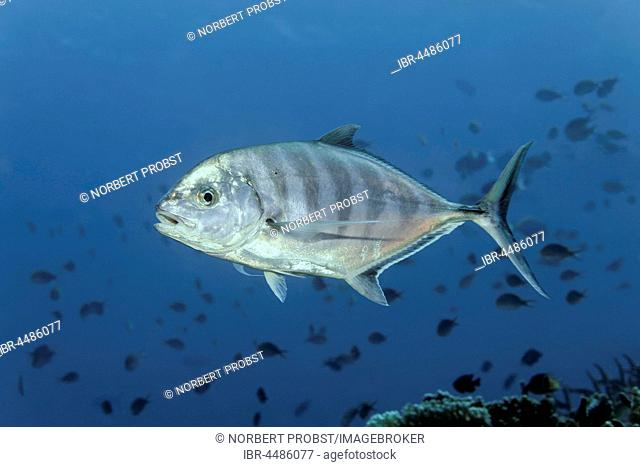 Blue trevally (Carangoides ferdau), Fish, Indian Ocean, Maldives