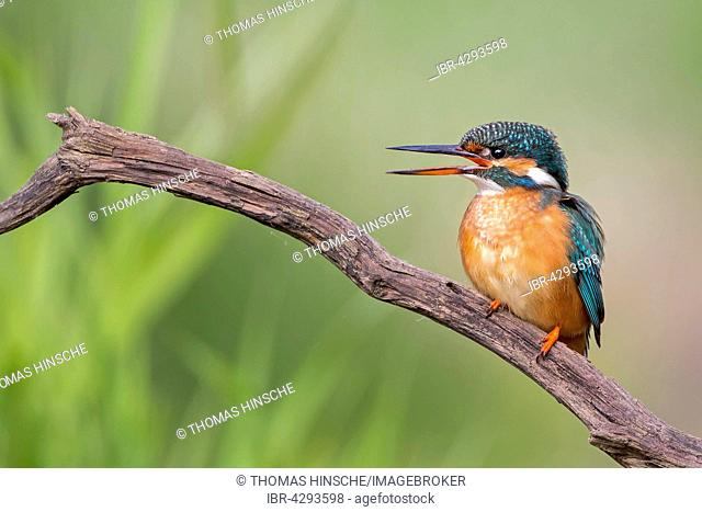 Eurasian kingfisher (Alcedo atthis) sitting on tree branch, females, Middle Elbe Biosphere Reserve, Saxony-Anhalt, Germany