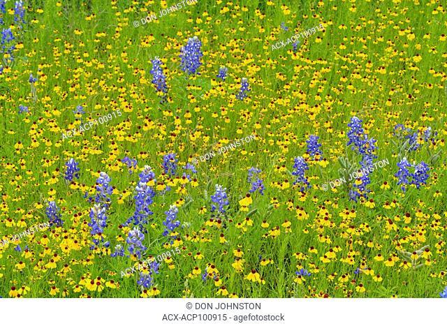 Flowering Brown Bitterweed (Helenium badium), Texas bluebonnets, Willow City, Texas, USA