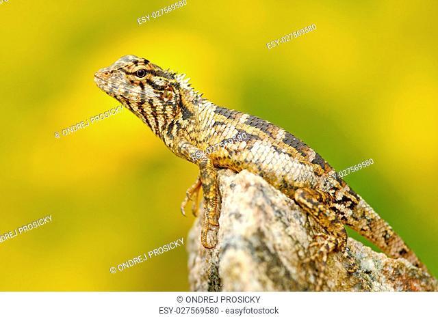 Lizard from Asia, Calotes calotes, Green Garden Lizard