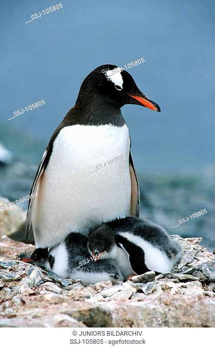 Gentoo penguin with two cubs in nest / Pygoscelis papua