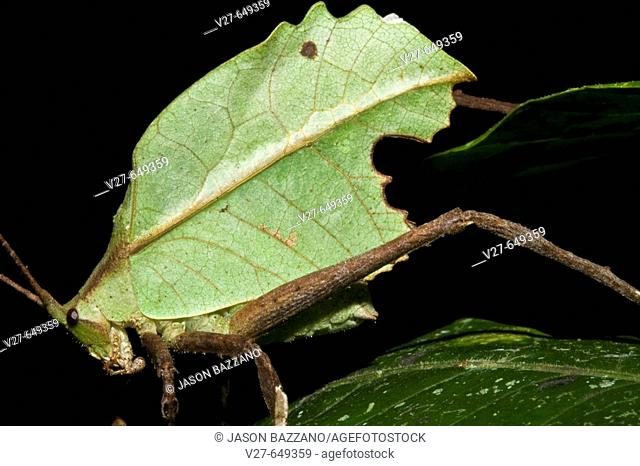 Well-camouflaged katydid (bush cricket) at night in the lowland tropical rainforests of Costa Rica