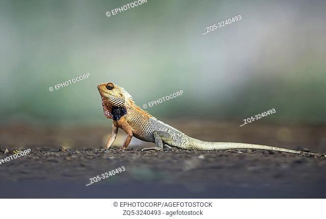 Garden lizard breeding colors, Calotes versicolor, Tadoba, Maharashtra, India