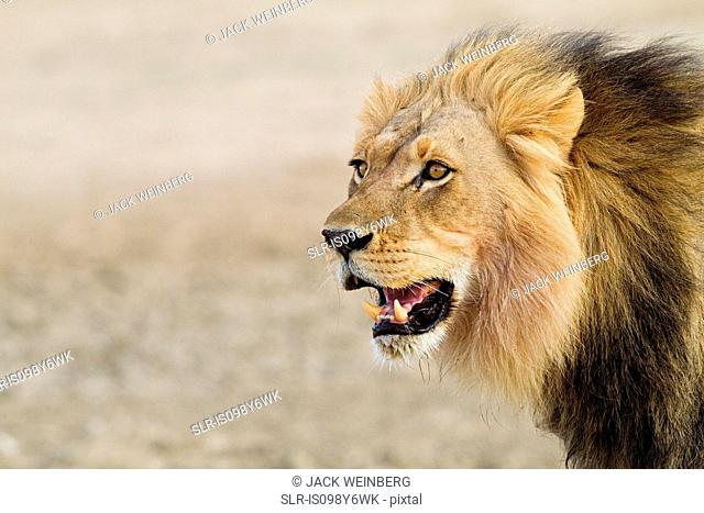 Male African lion, head shot