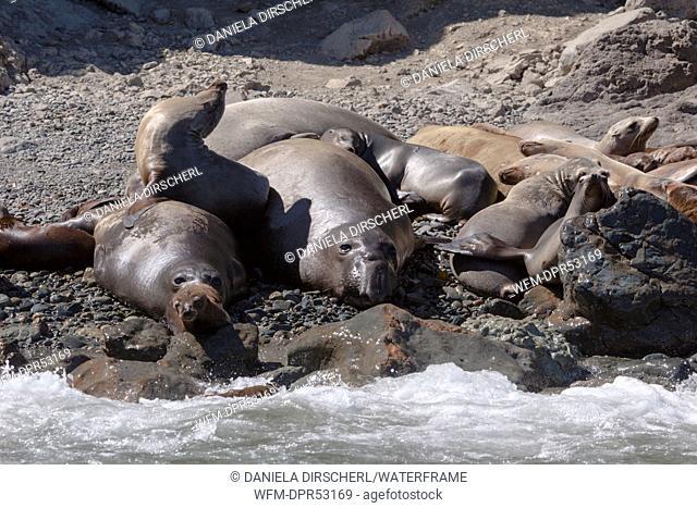 Northern Elephant Seal, Mirounga angustirostris, Cedros Island, Mexico