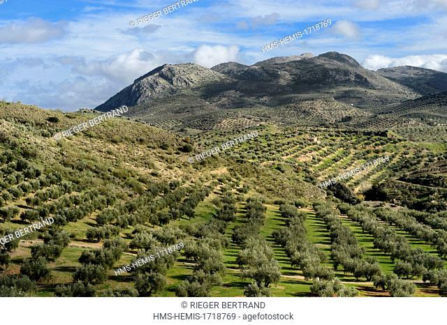 Spain, Andalusia, Jaen province, olive groves south of Martos and the Sierra Magina in the background