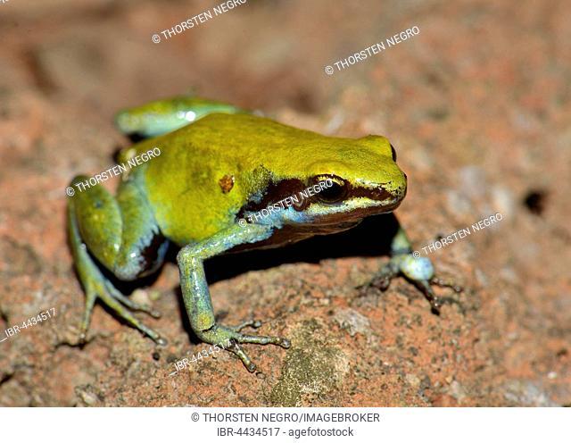 Green Mantella (Mantella viridis), dry forest, Nosy Hara National Park, northwest, Madagascar