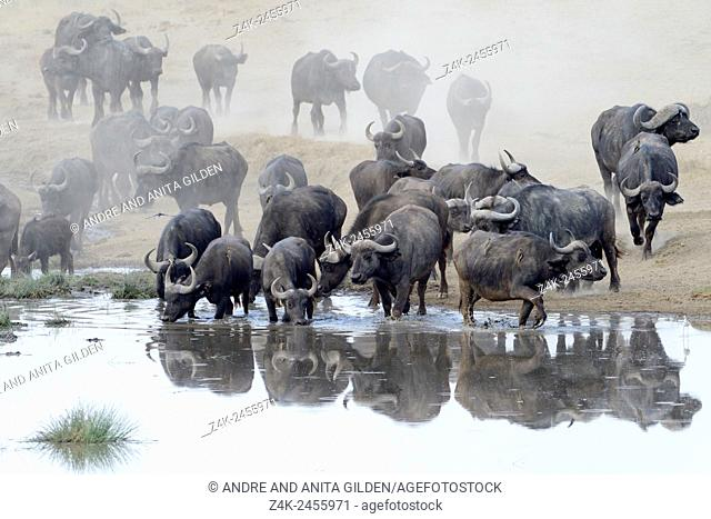 African Buffalo (Syncerus caffer) herd with reflection drinking from a pond at Ndutu swamp, Serengeti national park, Tanzania