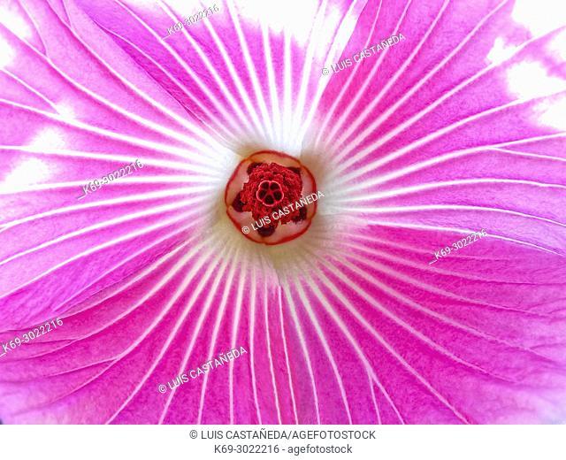 Flower (Dietes iridioides)