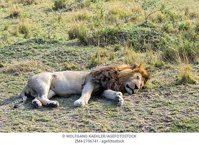 A male lion (Panthera leo) is sleeping in the grassland of the Masai Mara National Reserve in Kenya