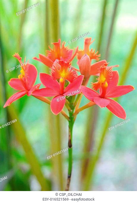 Red ground orchid flower