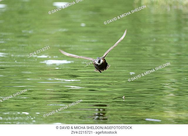 Close-up of a duck flying over a little lake in spring