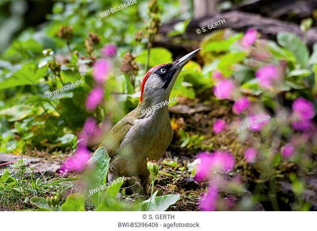 green woodpecker (Picus viridis), between flowers at searching food, Switzerland, Sankt Gallen