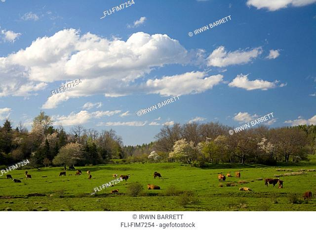 Indian pear blossoms and cows in field, near St. Croix, Nova Scotia