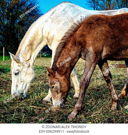 Beautiful brown and white horses feeding outdoors