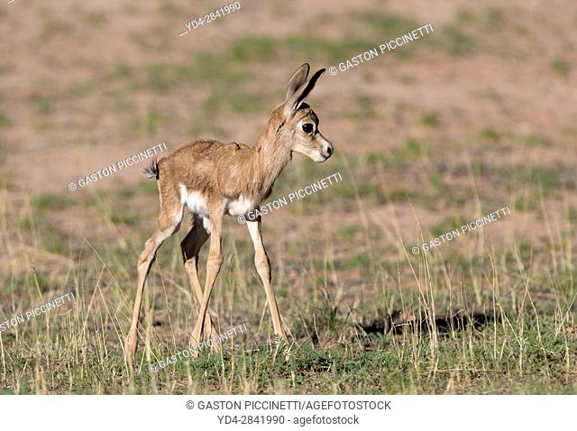 Springbok (Antidorcas marsupialis) - Lamb, Kgalagadi Transfrontier Park in rainy season, Kalhari Desert, South Africa/Botswana