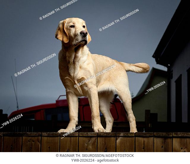 Portrait of Yellow Labrador Retriever. Young guide dog in training