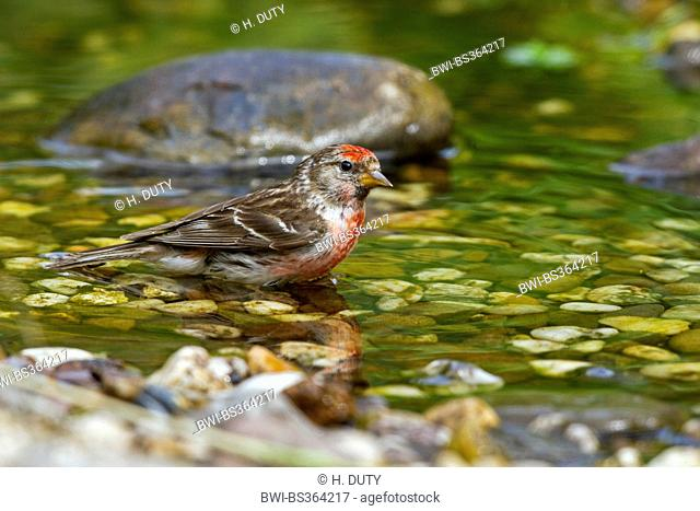 redpoll, common redpoll (Carduelis flammea, Acanthis flammea), male bathing in the creek, Germany