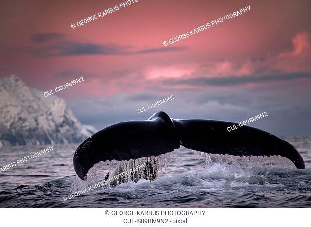 Humpback whale diving, Skjervøy, Troms, Norway