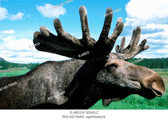 Moose bull Sweden Alces alces side