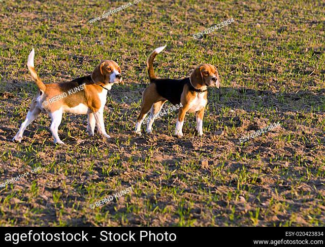 2 Beagle im Abendlicht