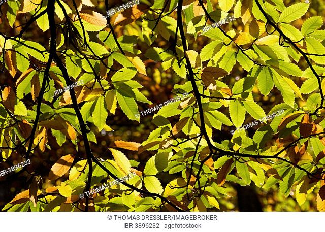 Branches and leaves of a Sweet Chestnut (Castanea sativa), Genal river valley, Málaga province, Andalusia, Spain