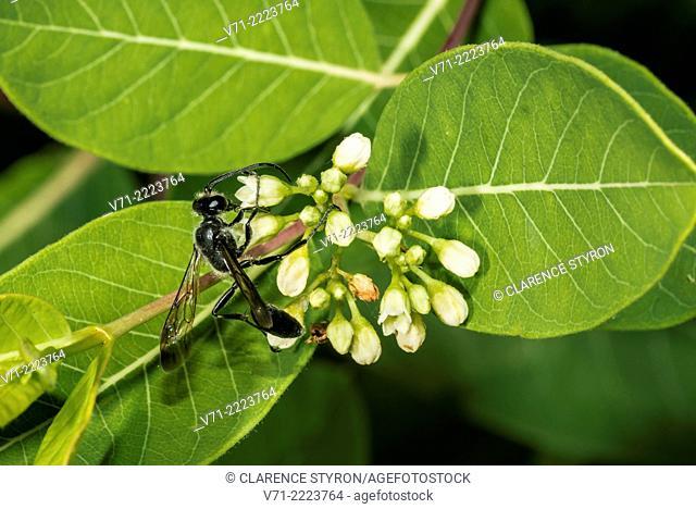 Blue Mud Dauber (Chalybion californicum) Feeding on Indian Hemp (Apocynum cannabinum) Flower