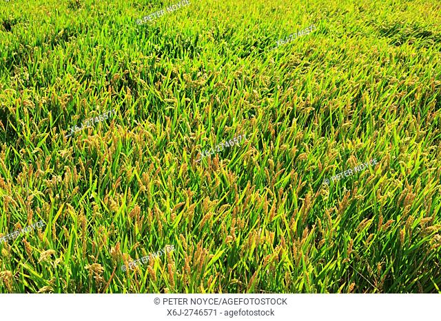 Close up of semiaquatic rice growing in a paddy field showing seed heads