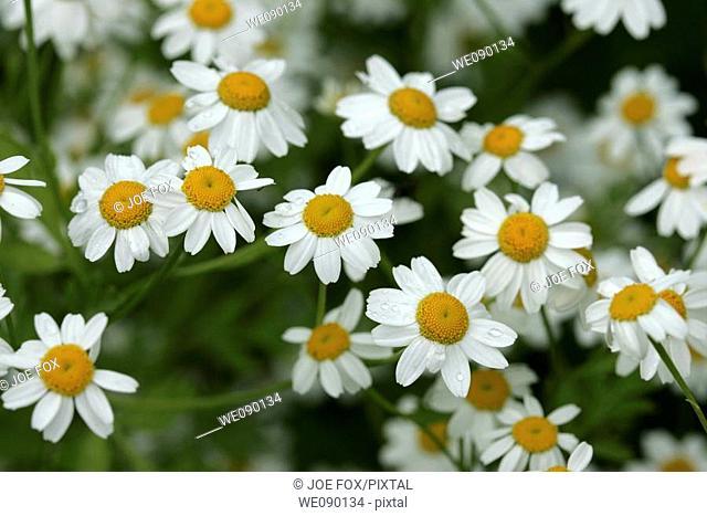 Feverfew herb Tanacetum parthenium herb flower white yellow compositae