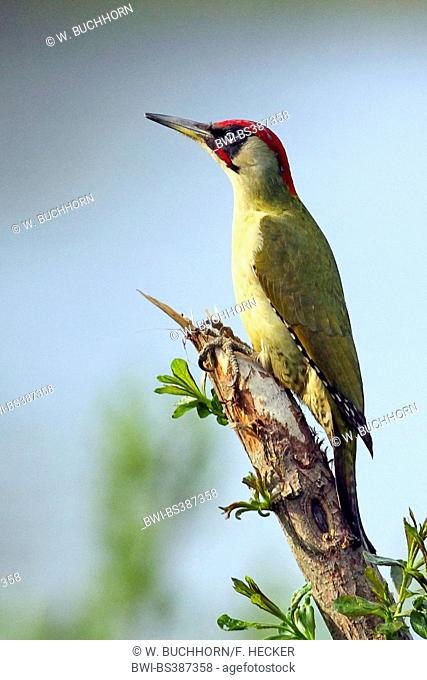 green woodpecker (Picus viridis), male sitting on a branch, Germany