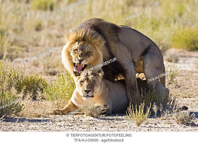 pairing lions