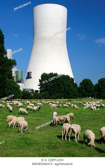 domestic sheep (Ovis ammon f. aries), flock of sheep with coal-fired power station, Germany, North Rhine-Westphalia, Duisburg Walsum