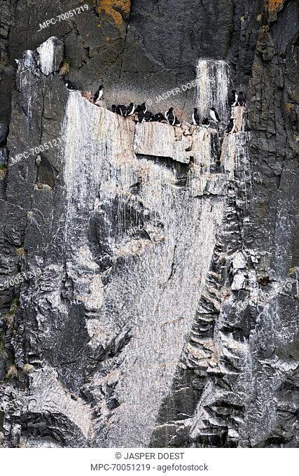 Brunnich's Guillemot (Uria lomvia) colony with whitewash of guano, Svarlbard, Norway