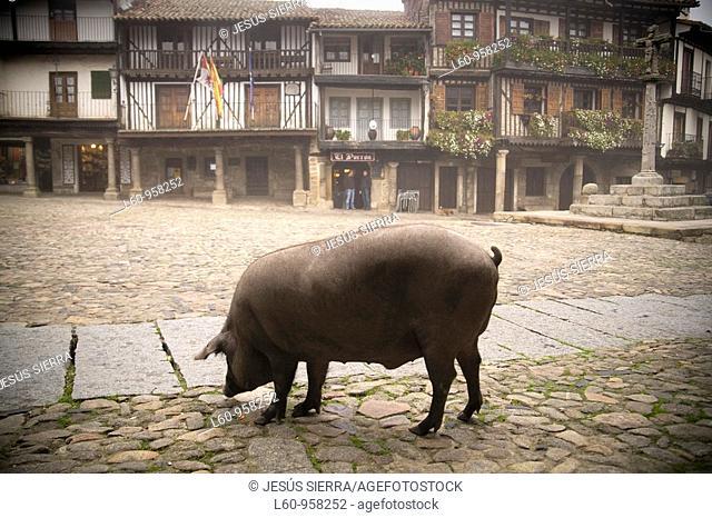 Iberian pig in La ALberca, Salamanca, Spain