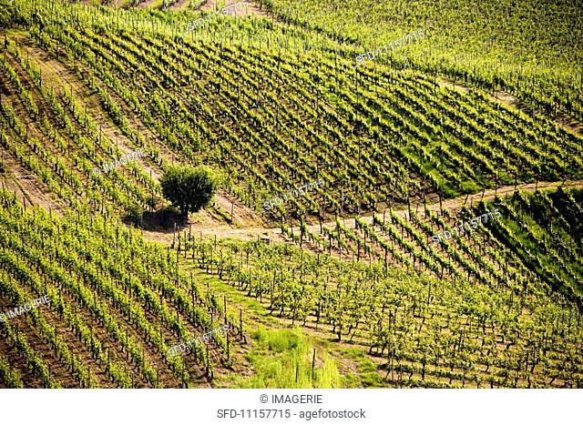 A hazelnut tree in the middle of a vineyard in the Langhe (Piedmont, Italy)