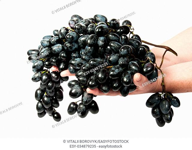 Two hands holding a bunch of dark grapes isolated on white background