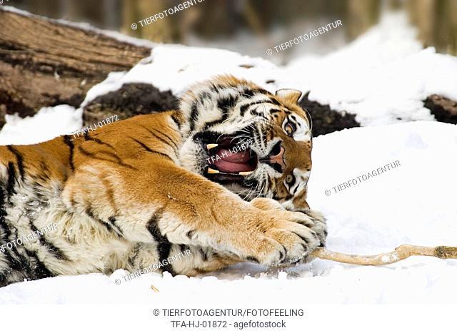 playing Amur tiger