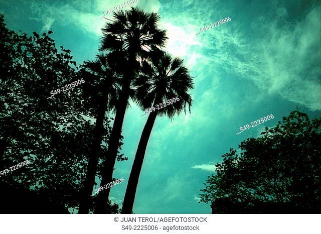 Palm trees, Valencia, Spain