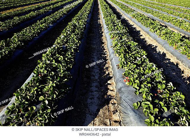 Strawberries Ready For Harvesting