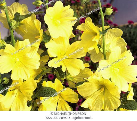 Holllyhock with Yellow Flowers (Alcea Rosea), June