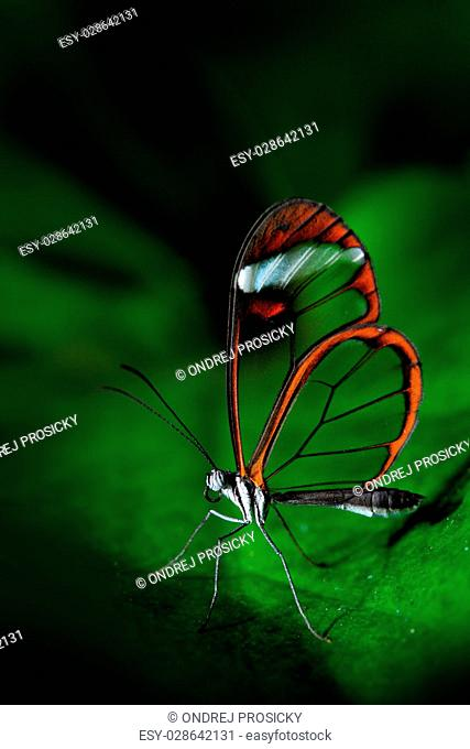 Nero Glasswing, Greta nero