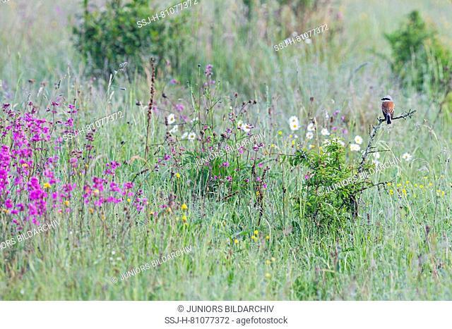Red-backed Shrike (Lanius collurio). Male on a thorny twig in a meadow. High Tatras, Slovakia