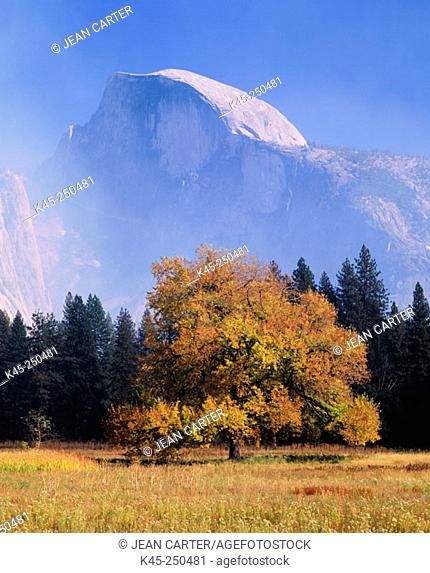 Half Dome and American Elm tree in fall, Yosemite National Park, California, USA