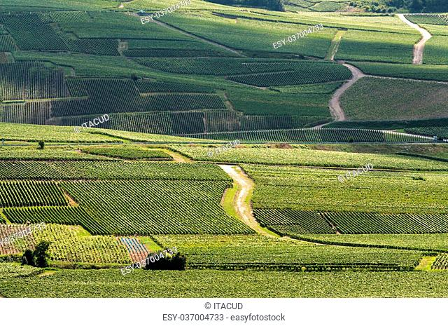 Vineyard in the Champagne-Ardenne region in France