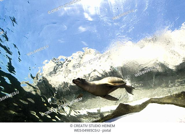 Germany, Gelsenkirchen, Zoom Erlebniswelt, Sea Lion swimming