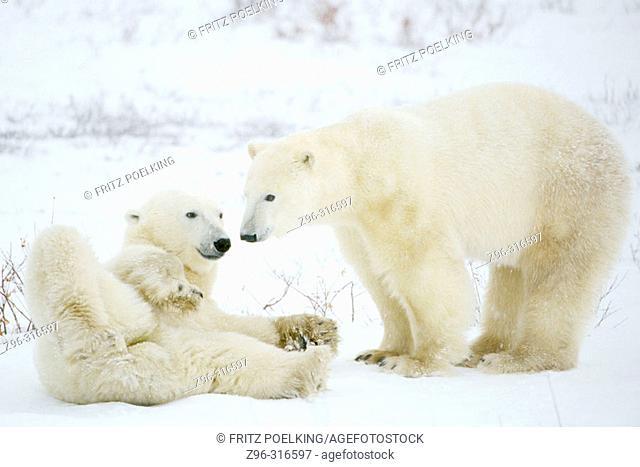 Polar Bears (Ursus maritimus). Hudson Bay, Canada