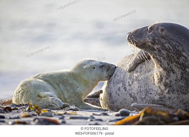 Germany, Helgoland, Duene Island, Grey seal (Halichoerus grypus) is suckling her pup at beach
