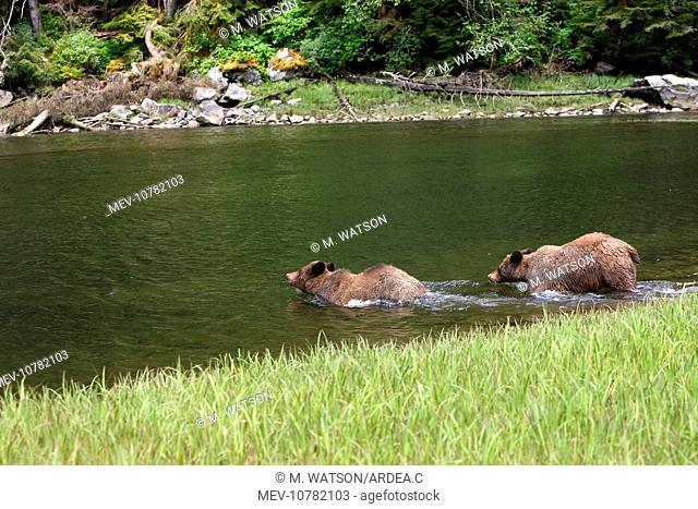 Grizzly Bear - two entering estuary (Ursus arctos horribilis)