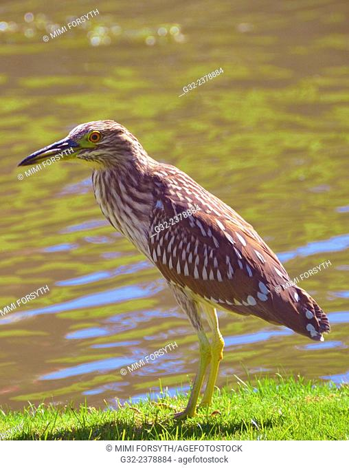 Black crowned night heron, juvenile (Nycticorax nycticorax)