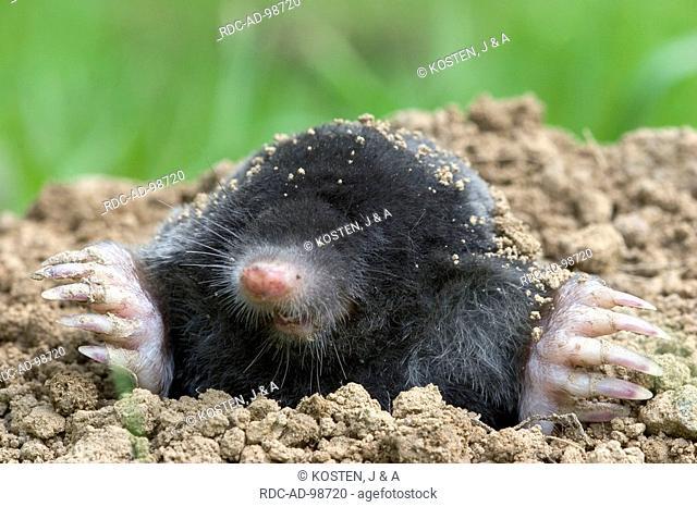 European Mole Talpa europaea